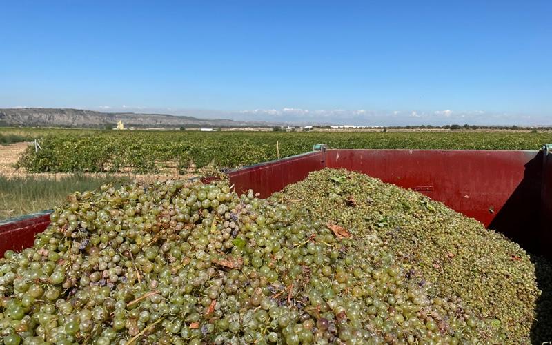 Vendimia 2021 en Arganda: un 40% menos de producción en uva tinta y gran añada en uva blanca